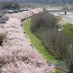 桜並木と多摩川の写真