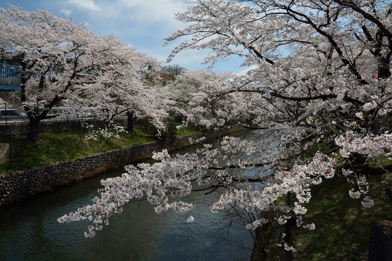 羽村市 桜と玉川上水