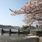 春の羽村取水堰